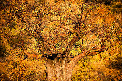 baobab tree at sunset [©2009 paulgodard.com]