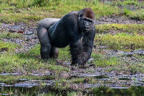 silver back lowland male gorilla in bay [©2014 paulgodard.com]