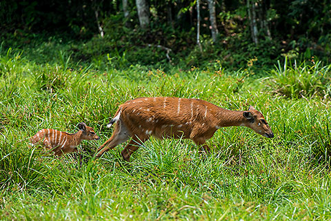sitatunga female with baby in baie [©2014 paulgodard.com]