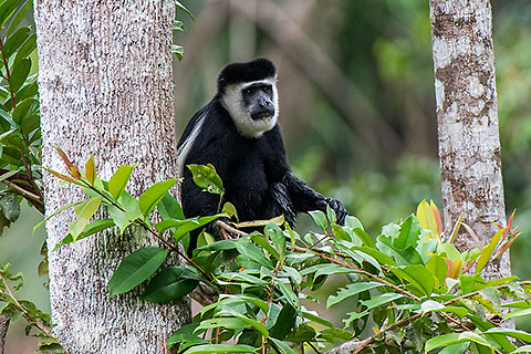 colobus guerida monkey in tree [©2014 paulgodard.com]