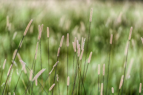 grass in flower [©2014 paulgodard.com]