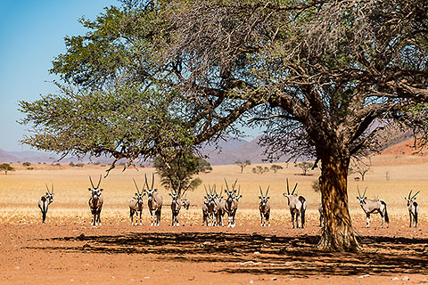 oryx under acacia tree [©2014 paulgodard.com]