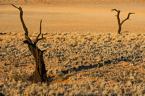 dead trees & dry grass on sand dunes [©2015 paulgodard.com]