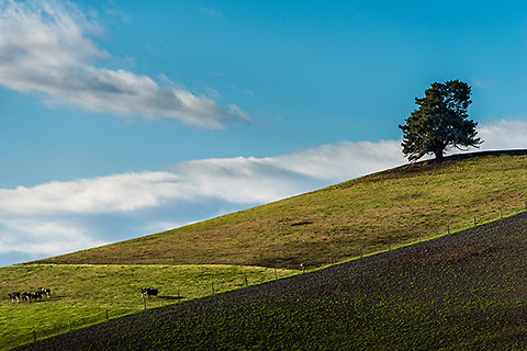 green meadow with cows & isolated tree [©2015 paulgodard.com]