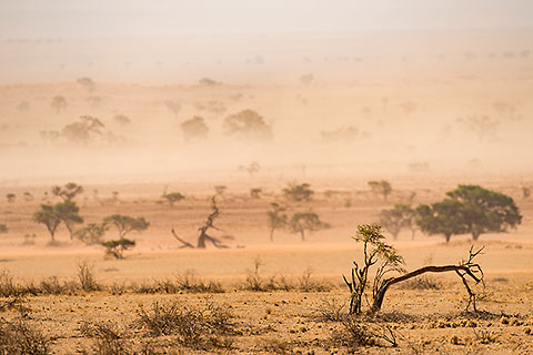 camelthorn trees in riverbed under sand storm [©2015 paulgodard.com]
