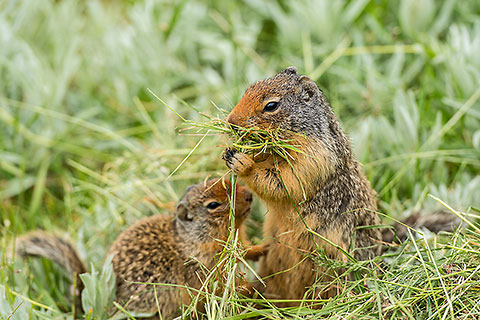 ground squirel filling mouth with cut grass [©2017 paulgodard.com]