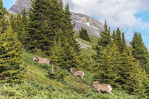 big horn sheeps between pine trees on alpine meadows [©2017 paulgodard.com]