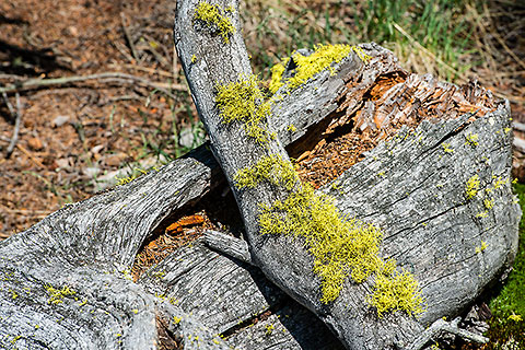 mosses & lichens in pine tree forest [©2017 paulgodard.com]