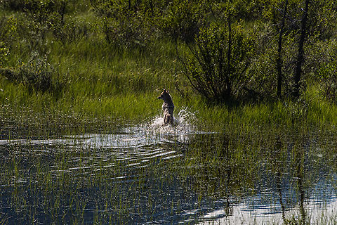 coyote jumping in swampy lake [©2017 paulgodard.com]