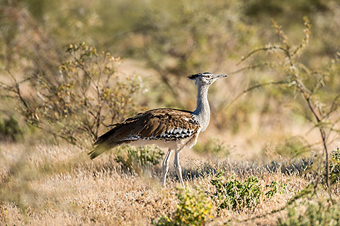 kori bustard bird walking in the bush [©2020 paulgodard.com]