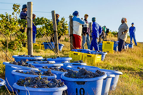 people harvesting grapes in vineyards [©2005 paulgodard.com]