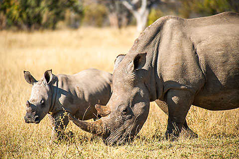 rhino mother & calf [©2009 paulgodard.com]